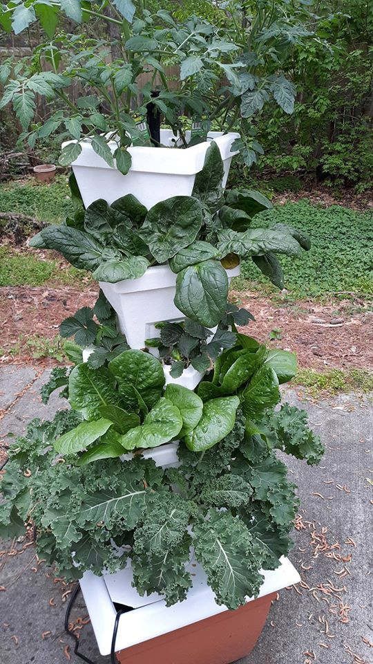 Vertical Growing Spinach