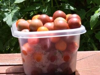 Hydroponic Cherry Tomatoes