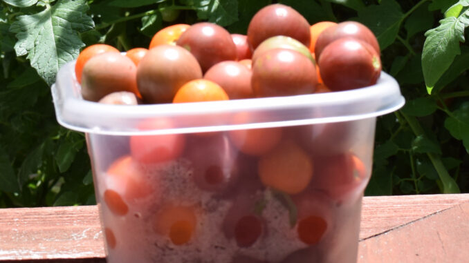 Hydroponic Cherry Tomatoes
