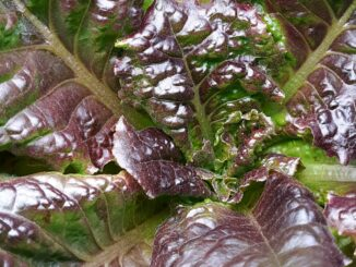 Growing Hydroponic Lettuce